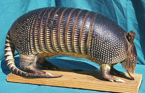 Stuffed mounted Armadillo.  Click to order.