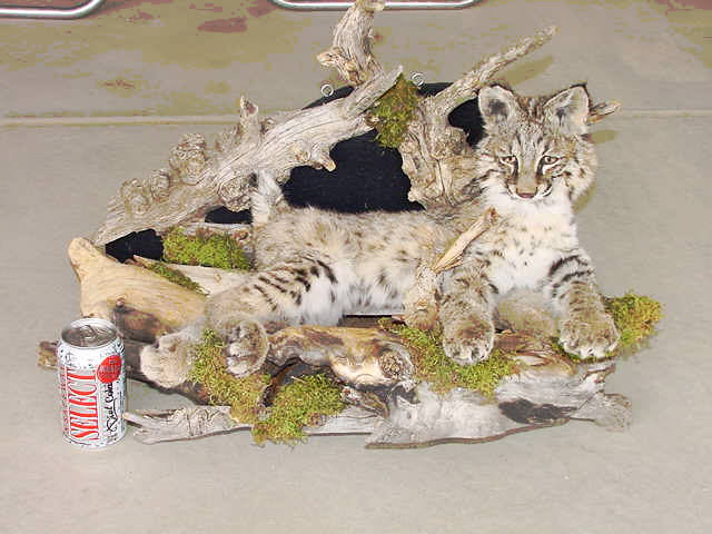 Beautiful Stuffed Bobcat For Sale.  Click To Order.