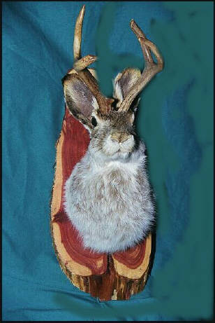 Jackalope on Wyoming cedar.  Click to Order.