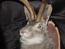 Click here to see a larger photo of the Blue Eyed Jackalope
